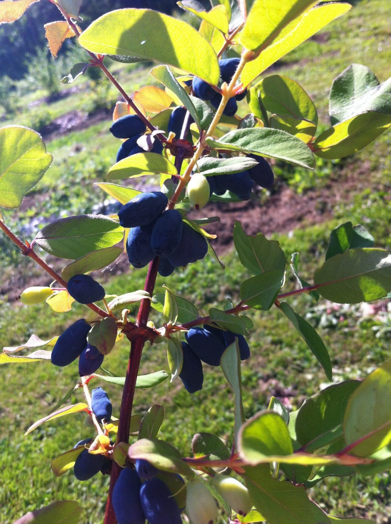 Haskap Berry Plant at Lahave River Berry Farm