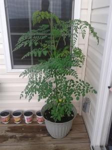 Moringa Tree Lahave River Berry Farm Image Source: http://www.thesurvivalistblog.net/grow-moringa-tree/