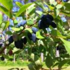 Harvesting Haskap Berries